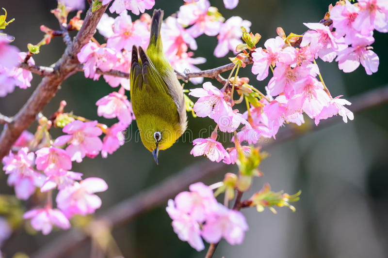 Japanese White Eye. And cherry blossoms stock photography