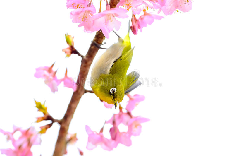 Japanese White Eye. And cherry blossoms royalty free stock photos