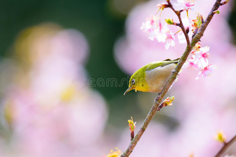 Japanese White Eye. And cherry blossoms royalty free stock photo