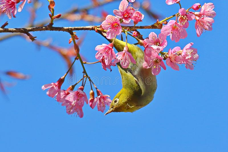 Japanese White Eye mejiro. Zosterops japonica,Bird island on the branch has pink flowers on the back stock photography