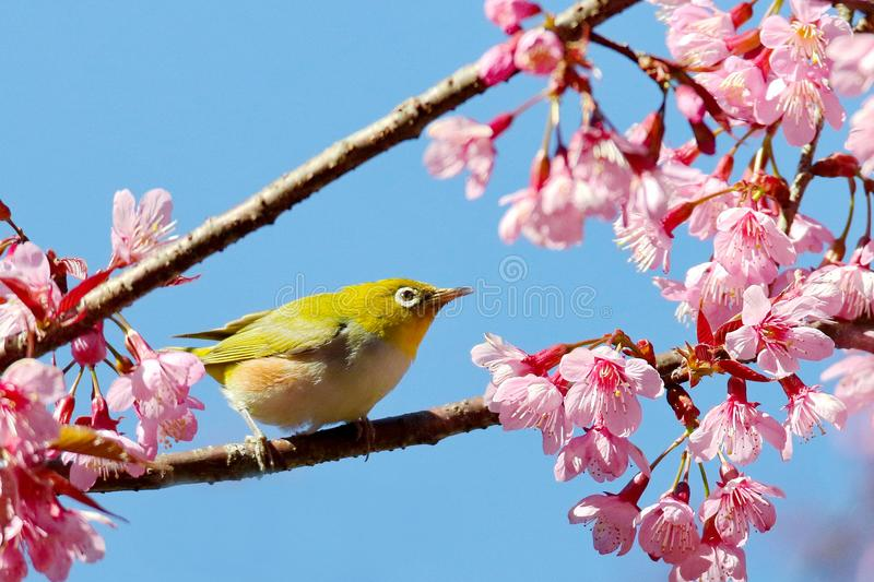 Japanese White Eye mejiro. Zosterops japonica,Bird island on the branch has pink flowers on the back royalty free stock image