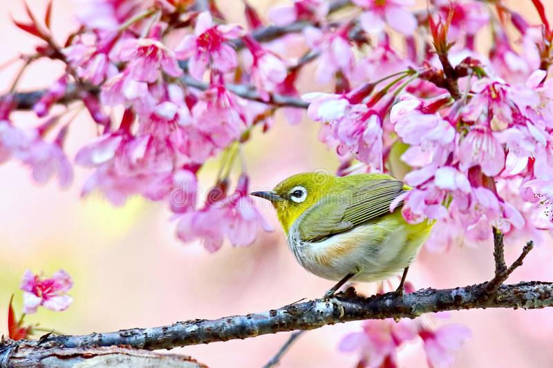 Japanese White Eye mejiro. Zosterops japonica,Bird island on the branch has pink flowers on the back royalty free stock photo