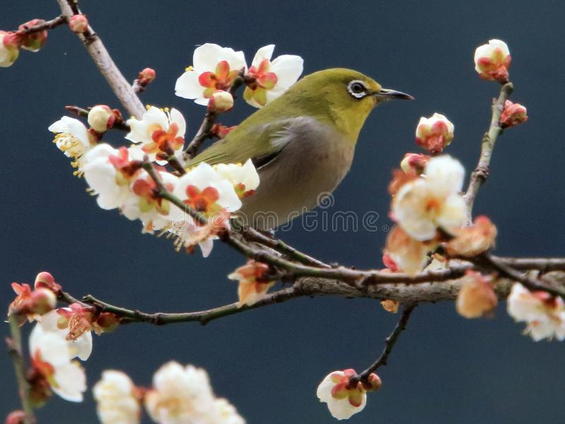 Japanese White - eye and plum blossom. 2019.02. The hangzhou city, zhejiang province in China stock images