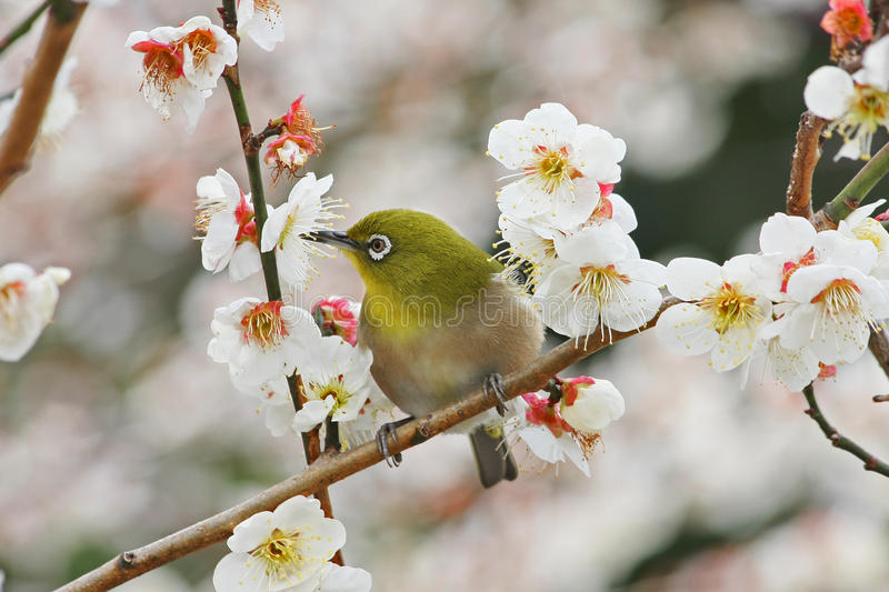 Japanese white-eye with Prunus Mume. The Japanese white-eye (Zosterops japonicus), also known as the mejiro (メジロ, 目白), is a small stock image