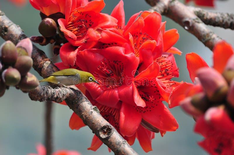 Download Japanese White Eye On Red Silk Cotton Tree Flower Stock Image - Image: 24242205
