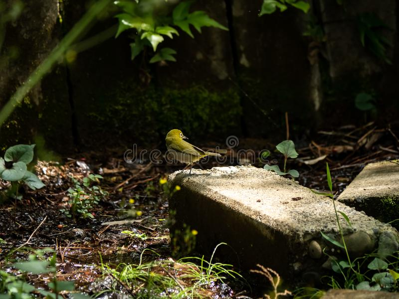 Japanese white-eye beside a small stream 1. A Japanese white eye, Zosterops japonicus, perches briefly on a concrete block while enjoying the shallow water of a stock photo