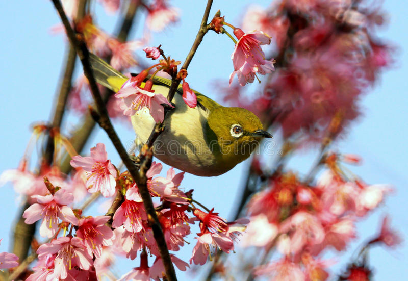 Japanese white-eye [Zosterops japonicus]. A Japanese white-eye sits on new cherry blossom tree as it starts to bloom. All 10 cm long, eat small insects, berries royalty free stock photo
