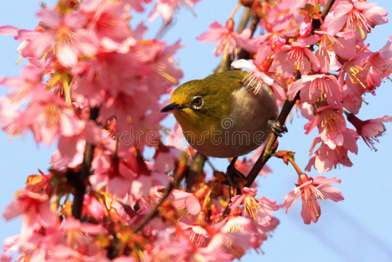 Japanese white-eye [Zosterops japonicus]. A Japanese white-eye sits on new cherry blossom tree as it starts to bloom. All 10 cm long, eat small insects, berries stock image