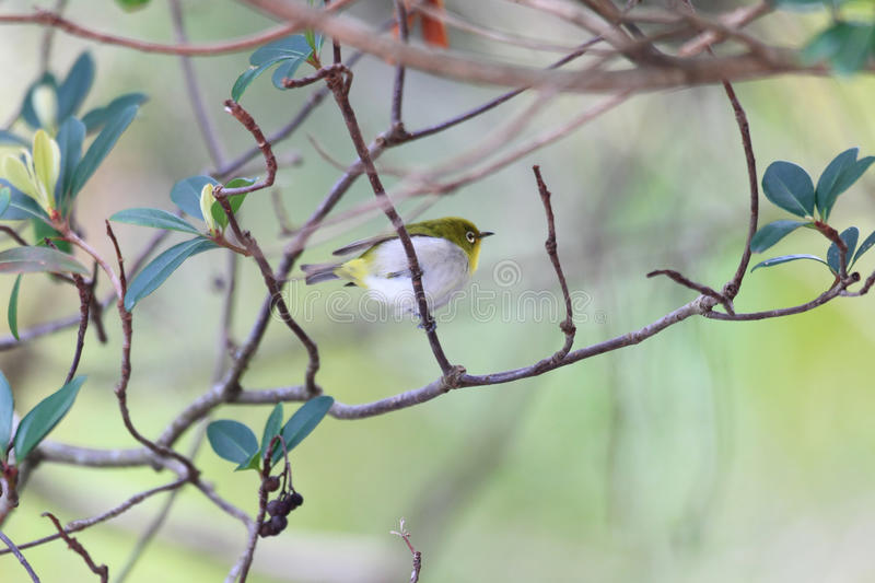 Japanese White-eye. ( Zosterops japonicus) in Amami Island stock images
