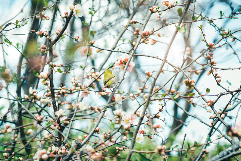 Japanese White-eye Zosterops japonicus on Cherry Blossom and s. Akura royalty free stock photo