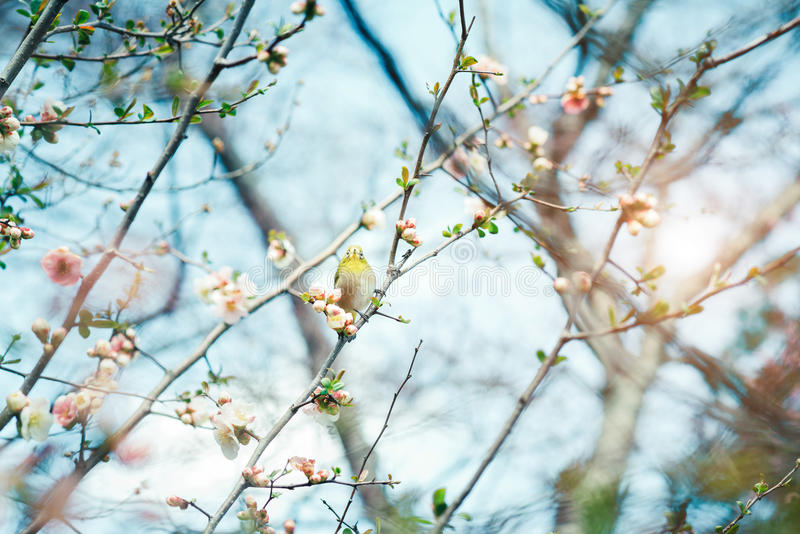 Japanese White-eye Zosterops japonicus on Cherry Blossom and s. Akura royalty free stock photography