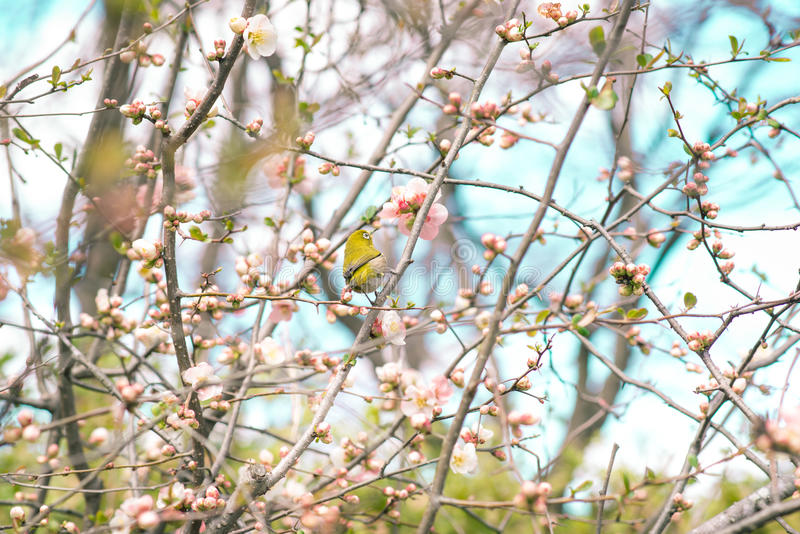 Japanese White-eye Zosterops japonicus on Cherry Blossom and s. Akura royalty free stock image