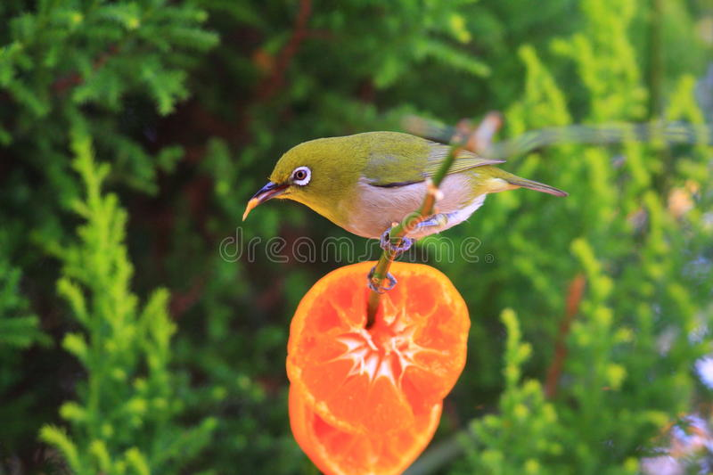 Japanese White-eye. (Zosterops japonicus) in japan royalty free stock photography