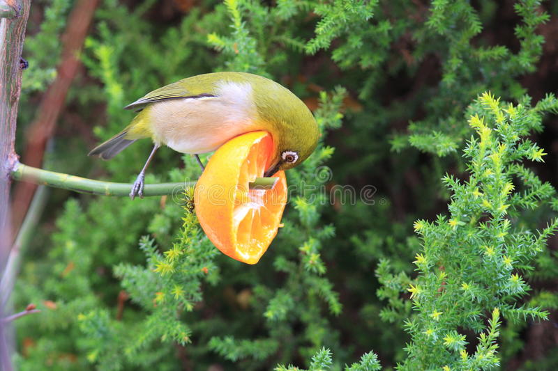 Japanese White-eye. (Zosterops japonicus) in japan royalty free stock images