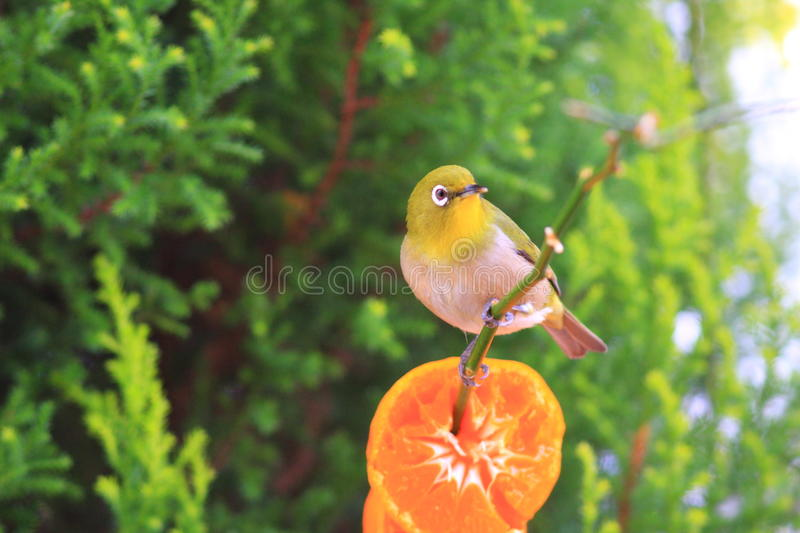 Japanese White-eye. (Zosterops japonicus) in japan royalty free stock image