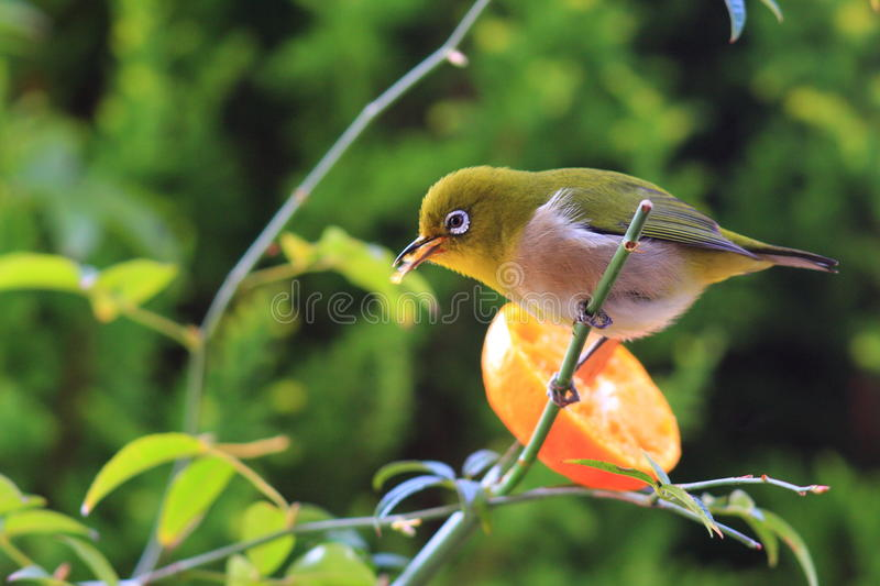 Japanese White-eye. (Zosterops japonicus) in japan royalty free stock photo
