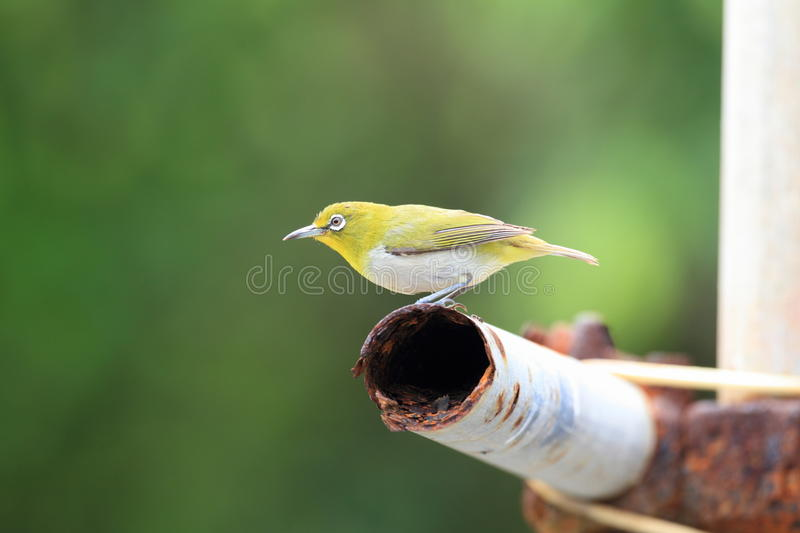 Japanese White-eye. ( Zosterops japonicus) in Ogasawara Island ,Japan stock photos
