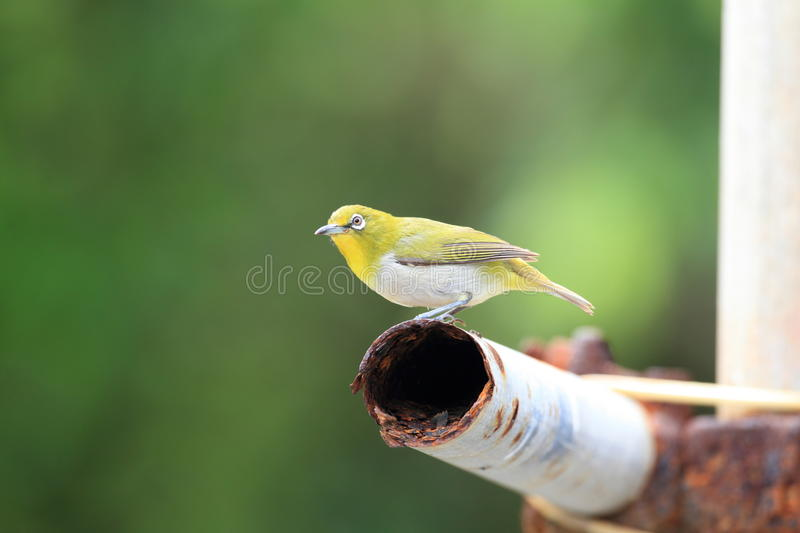 Japanese White-eye. ( Zosterops japonicus) in Ogasawara Island ,Japan royalty free stock images