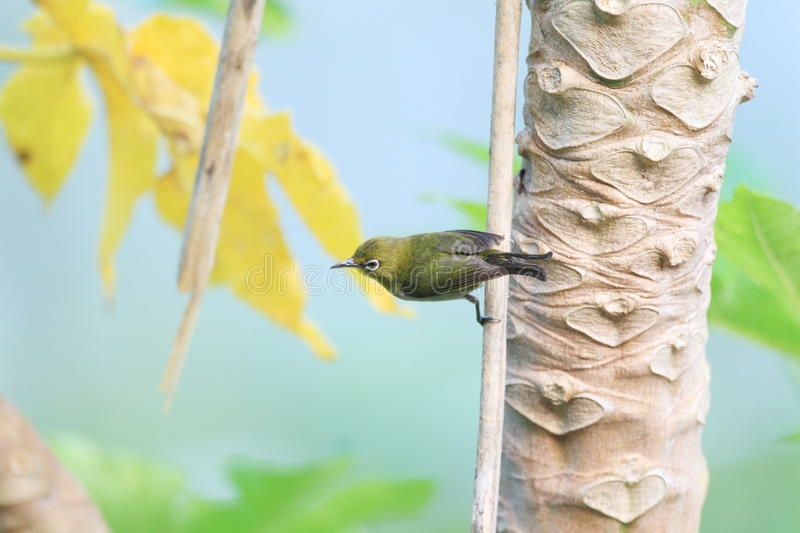 Japanese White-eye. ( Zosterops japonicus) in Ogasawara Island ,Japan royalty free stock photography