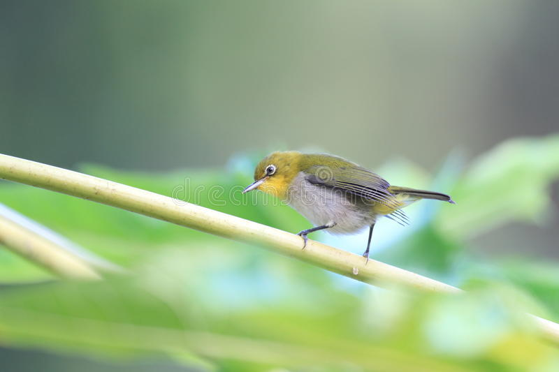Japanese White-eye. ( Zosterops japonicus) in Ogasawara Island ,Japan stock photography
