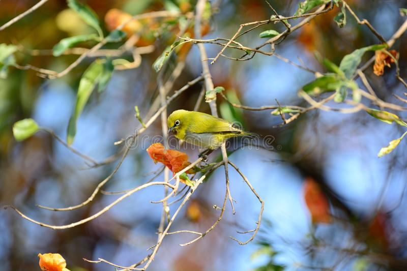 Japanese white eye (Zosterops japonicus). Or oriental white eye bird perching on tree in japan royalty free stock photo
