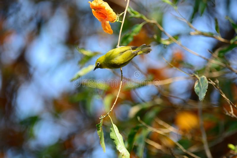Japanese white eye (Zosterops japonicus). Or oriental white eye bird perching on tree in japan stock photography
