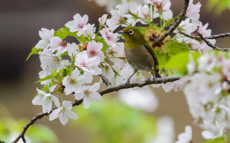 Japanese white eye (Zosterops japonicus) stock photo