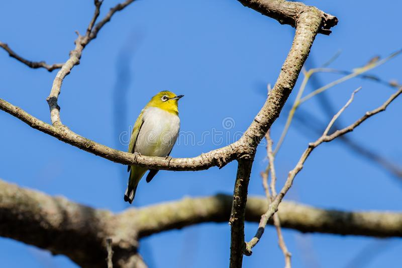 Japanese white-eye Zosterops japonicus perching on tree. Hong Kong stock photos