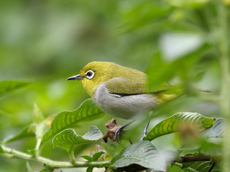 Japanese white-eye, Zosterops japonicus. Single bird on branch, Taiwan, January 2019 stock photography