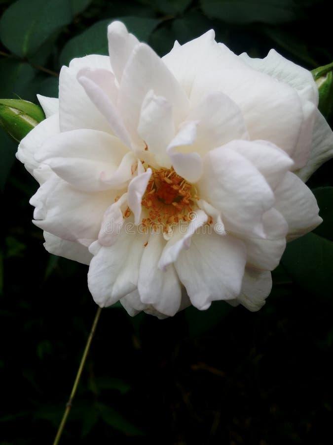 Japanese White Rose. Flowers blossom in a garden stock photo