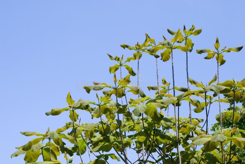 Download Japanese Whitebark Magnolia Leaves Stock Photography - Image: 21432692