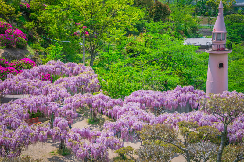Japanese Wisteria Festival During Spring Time Editorial Photo ...