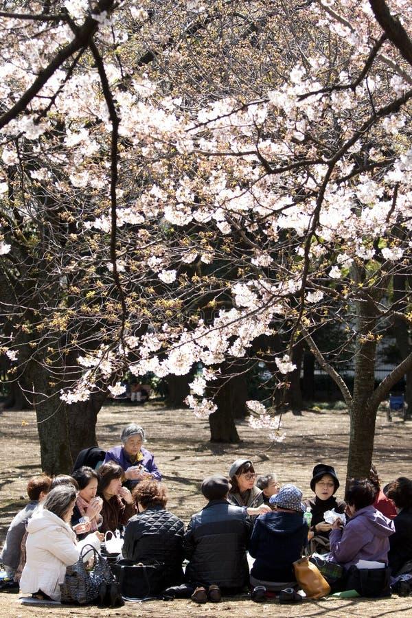 Japanese women drinking tea under cherry blossom stock photos