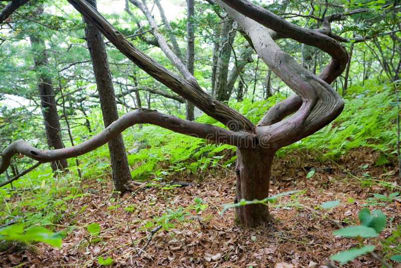 Japanese yew on the Petrov island. royalty free stock image