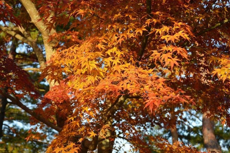 Japanische Ahornbaum-Blätter im Fall lizenzfreie stockfotos