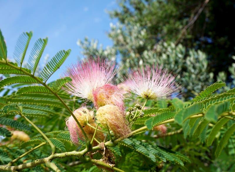 Japanische Akazie, Albizia julibrissin, schöner blühender hellrosa Blumenvordergrund und grüne Baumblätter und -himmel im backgr stockfotos