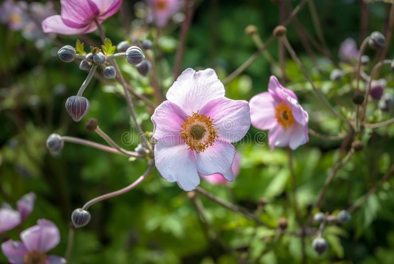 Japanische Anemone stockfotografie