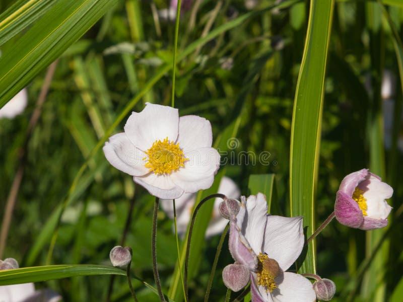 Japanische Anemone, Anemone hupehensis, Blumen an der Blumenbeetnahaufnahme, selektiver Fokus, flacher DOF stockbilder