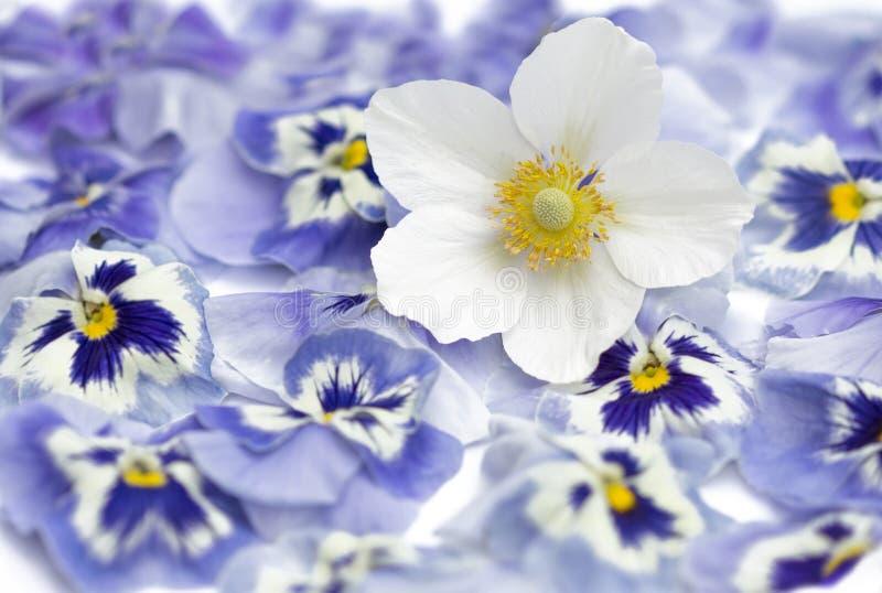 Japanische Anemone, Windflower in der Blüte, purpurrote Pansies als BAC lizenzfreies stockbild