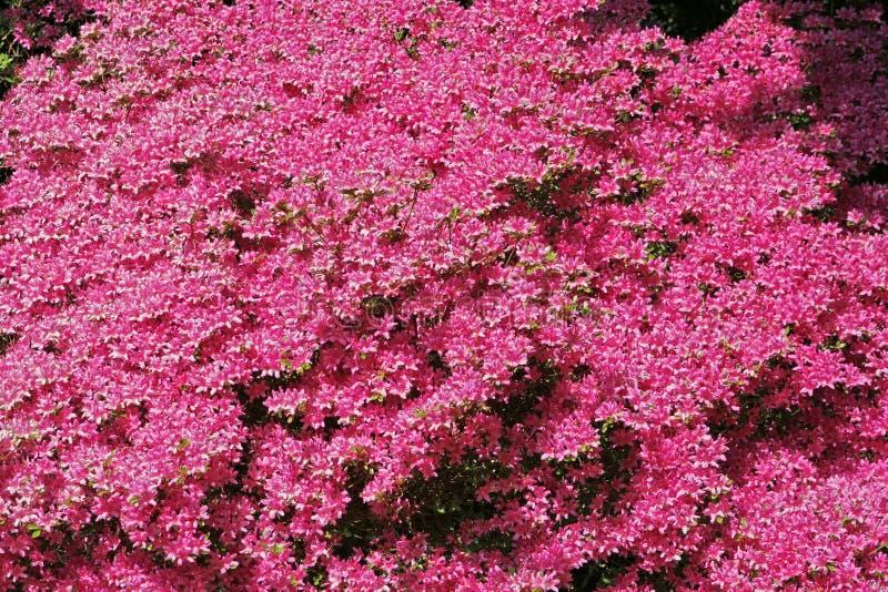 Japanische Azaleen im Frühjahr stockbilder