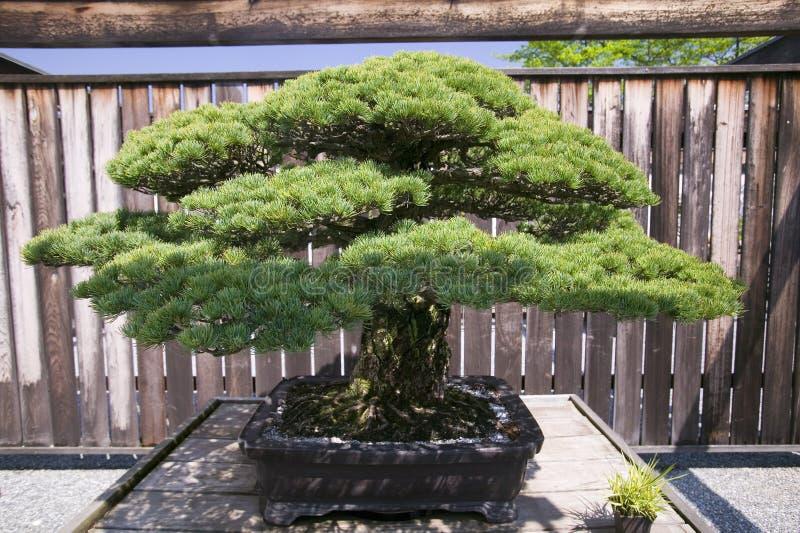 Japanische Bonsaibaum ab 1625 ANZEIGE im nationalen Arboretum, Washington D C stockbild