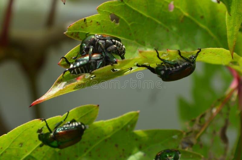 Japanische Käfer im Garten lizenzfreie stockfotos