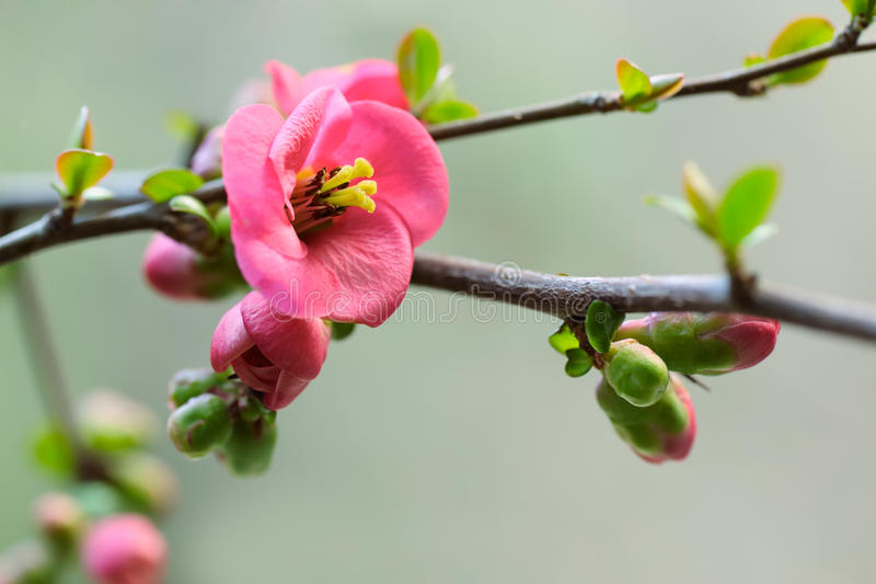 Japanische Kirschblüte lizenzfreies stockfoto