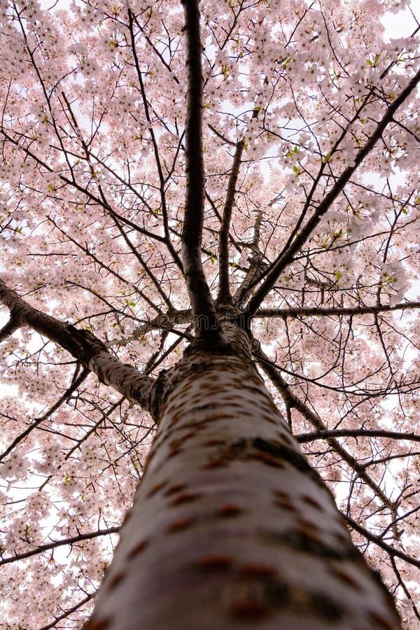 Japanische Kirschblüten-Baumblüte stockfotos