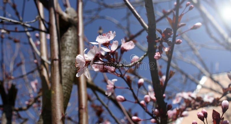 Japanische Kirschbl?ten Kirschbl?te- oder Prunusserrulata Kanzan Sun-Aufflackern Damast stellt mit Filigran geschm?cktes, Flouris stockfotografie