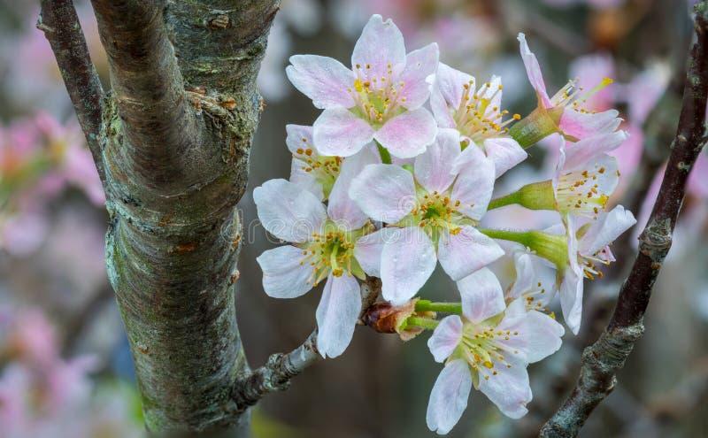 Japanische Kirsche (Kirschblüte) stockfotografie