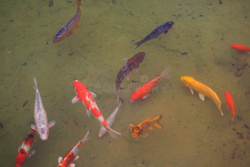 Japanische Koi Fische lizenzfreie stockfotos