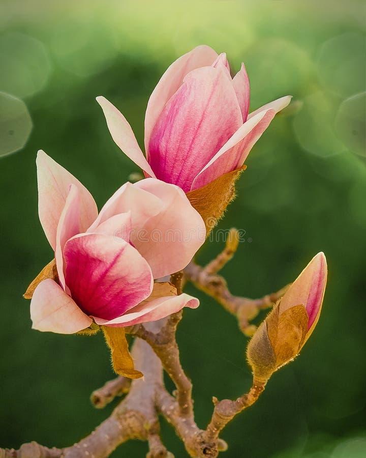 Japanische Magnolien-Blüten lizenzfreie stockfotos