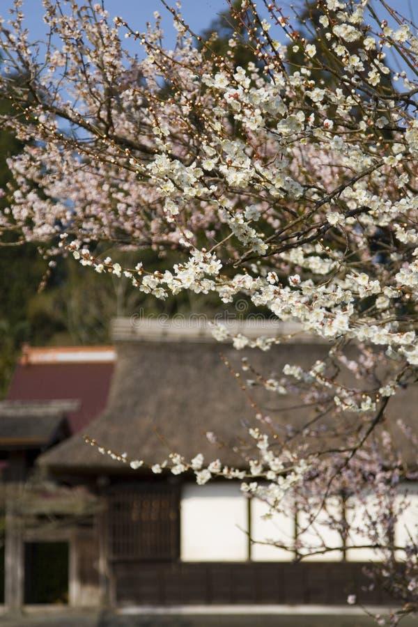 Japanische Pflaume-Blüten stockbild