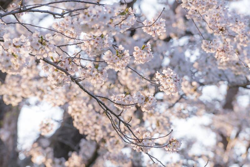 Japanische Sakura-Kirschblüten stockfotografie